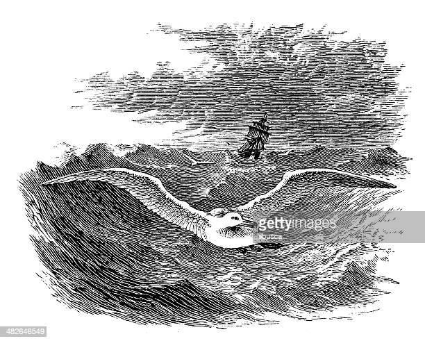 antique illustration of albatross - albatross stock illustrations