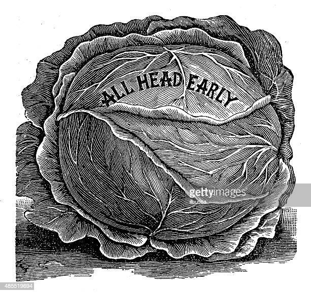 """antique illustration of """"all head early"""" cabbage - savoy cabbage stock illustrations, clip art, cartoons, & icons"""