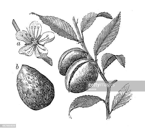 Antiguidade ilustração de Amendoeira (Prunus dulcis, Prunus amygdalus