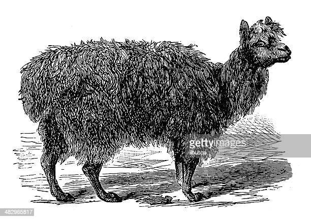 Anticuario ilustración de alpaca (Vicugna pacos