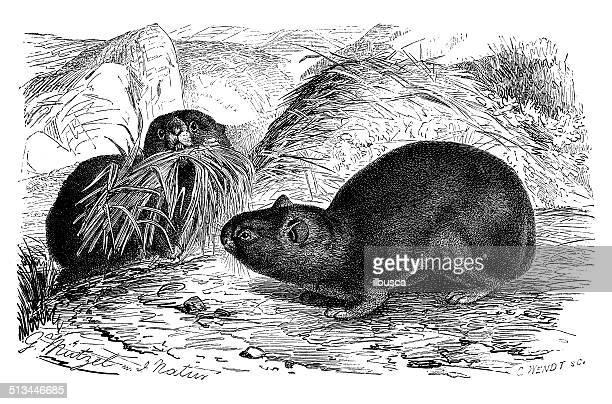 antique illustration of alpine pika (ochotona alpina) - pika stock illustrations