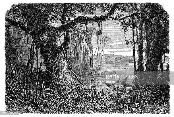 Antique illustration of Amazon rainforest