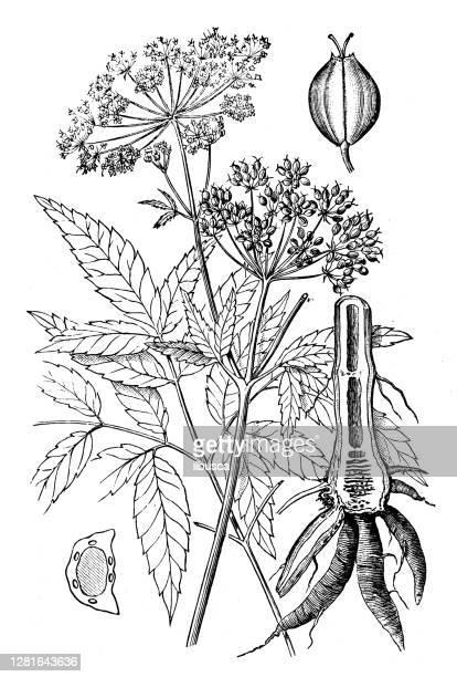 """illustrazioni stock, clip art, cartoni animati e icone di tendenza di antique illustration of american water hemlock (cicuta maculata) - """"ilbusca"""""""