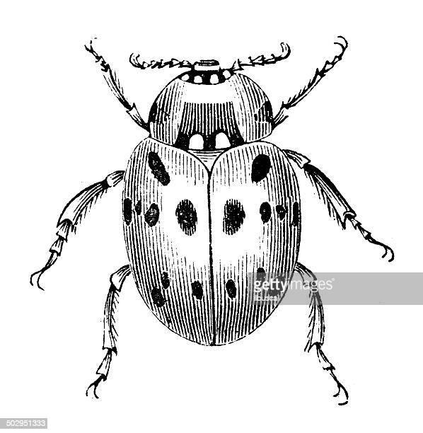 illustrazioni stock, clip art, cartoni animati e icone di tendenza di antica illustrazione di anatis ocellata (eyed coccinella) - coccinella