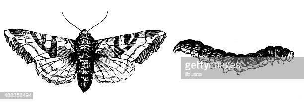 Antique illustration of Angle Shades moth (Phlogophora meticulosa) and larva