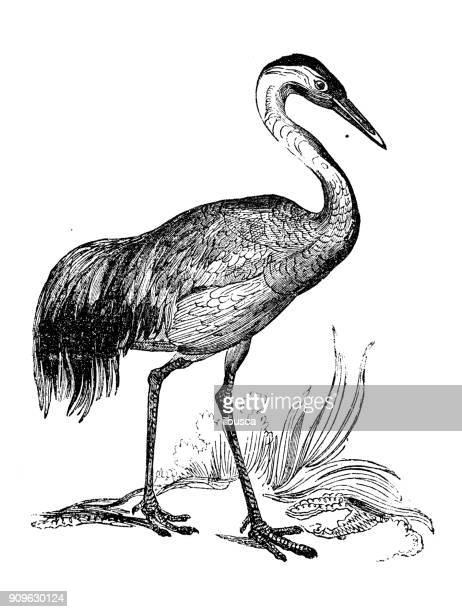 antique illustration of animals: crane - crane bird stock illustrations