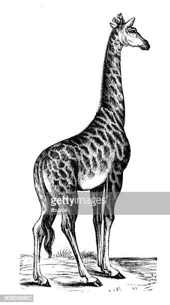 illustrations, cliparts, dessins animés et icônes de antique illustration d'animaux: girafe - girafe