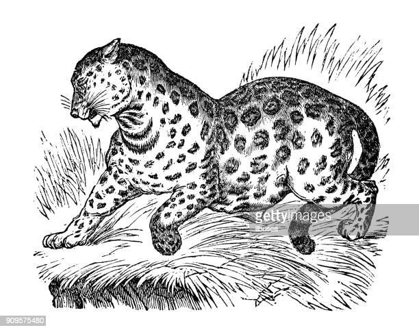 ilustraciones, imágenes clip art, dibujos animados e iconos de stock de antigua ilustración de animales: jaguar - jaguar