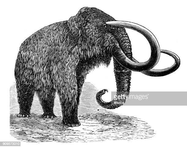 ilustraciones, imágenes clip art, dibujos animados e iconos de stock de antigua ilustración de animales: mamut - animal extinto