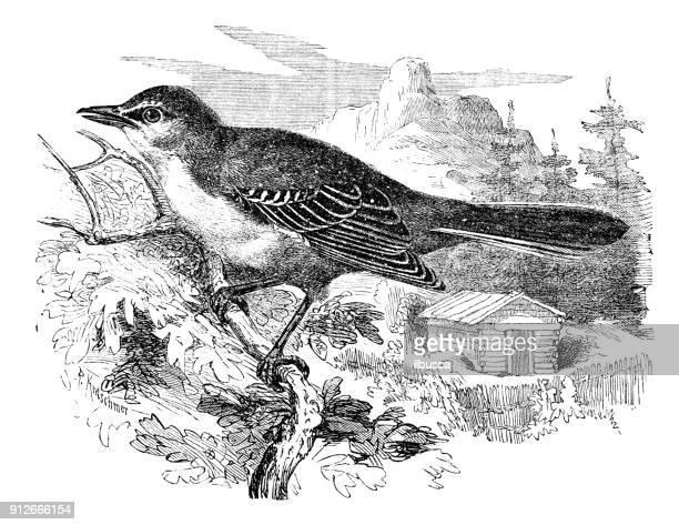 antique illustration of animals: northern mockingbird (mimus polyglottos) - mockingbird stock illustrations, clip art, cartoons, & icons