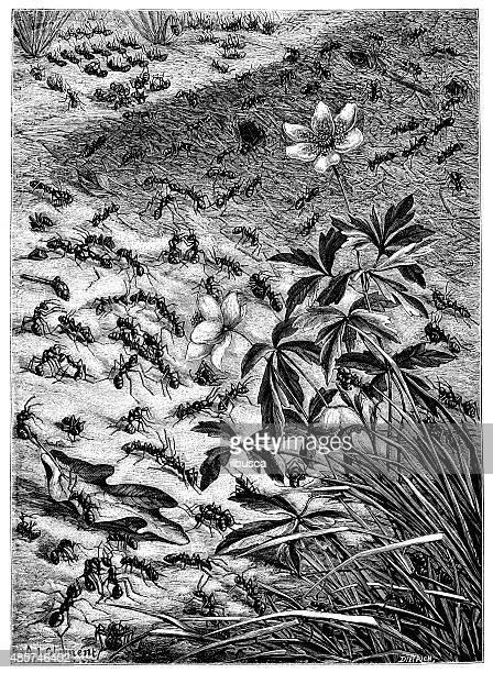 Antigo ilustração de Formiga Colónia