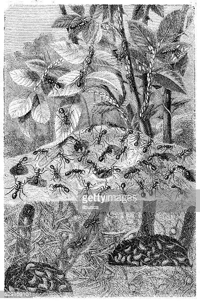 Antiguidade ilustração de Formiga Colónia
