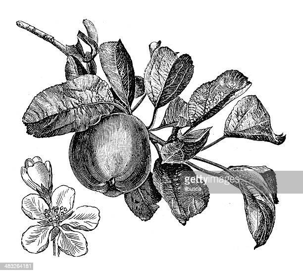 Antique illustration of apple tree