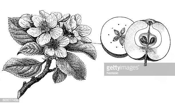 antique illustration of apple tree - apple fruit stock illustrations, clip art, cartoons, & icons