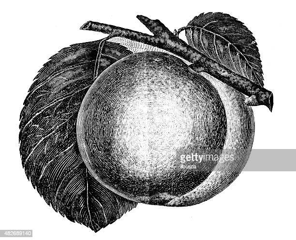 Ancienne illustration de l'abricot