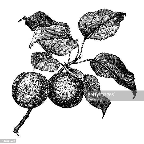 Ancienne illustration d'abricotier