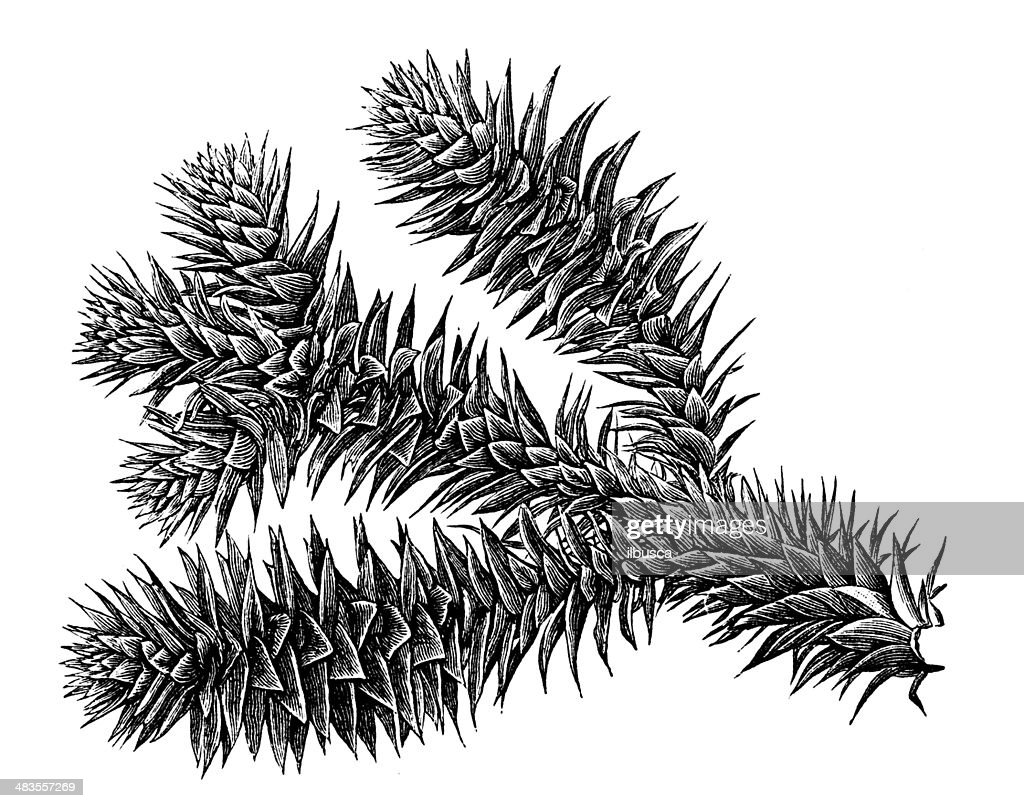 Antique illustration of Araucaria araucana (monkey puzzle tree, Chilean pine) : stock illustration