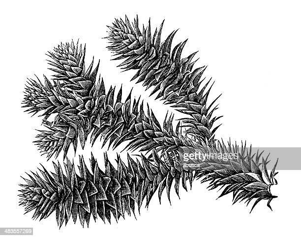Antique illustration of Araucaria araucana (monkey puzzle tree, Chilean pine)