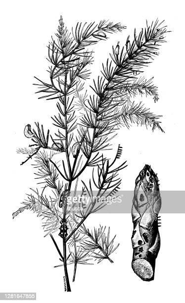"""illustrazioni stock, clip art, cartoni animati e icone di tendenza di antique illustration of asparagus beetle - """"ilbusca"""""""