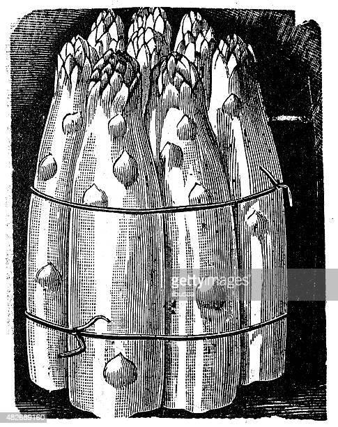 antique illustration of asparagus - asparagus stock illustrations, clip art, cartoons, & icons