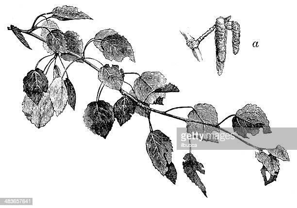 antique illustration of aspen (populus tremula) - aspen tree stock illustrations, clip art, cartoons, & icons