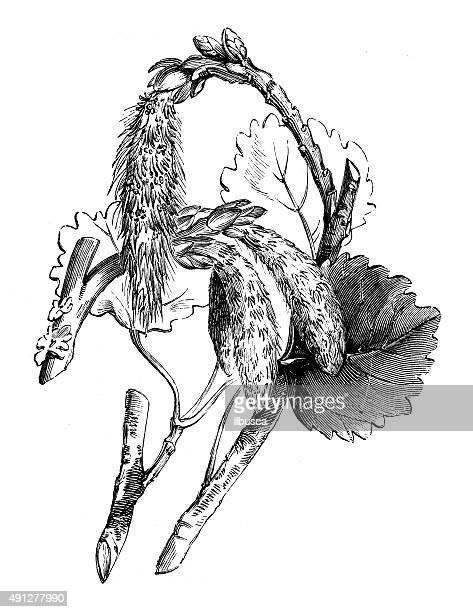 antique illustration of aspen tree - aspen tree stock illustrations, clip art, cartoons, & icons
