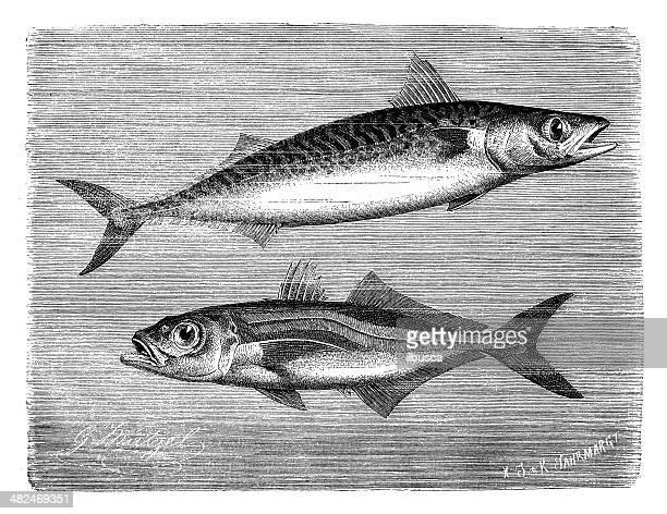 antique illustration of atlantic mackerel and chilean jack mackerel - trachurus stock illustrations