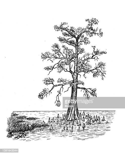 antique illustration of bald cypress, swamp form, aerating roots - bald cypress tree stock illustrations