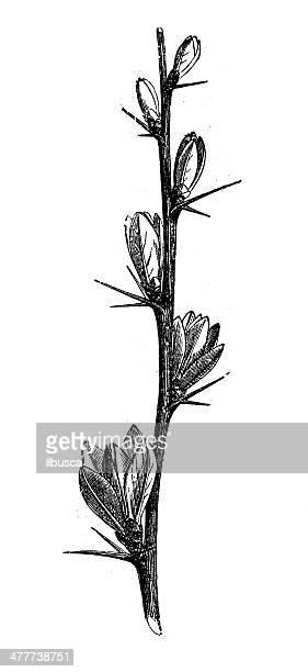 Antique illustration of barberry (Berberis vulgaris)