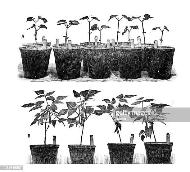 """illustrazioni stock, clip art, cartoni animati e icone di tendenza di antique illustration of beans cultivation experiments - """"ilbusca"""""""