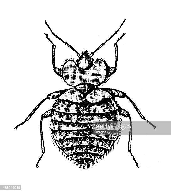 Antique illustration of bed bug (Cimex lectularius)