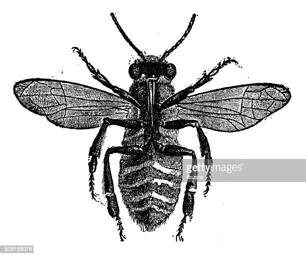 Antique illustration of bee