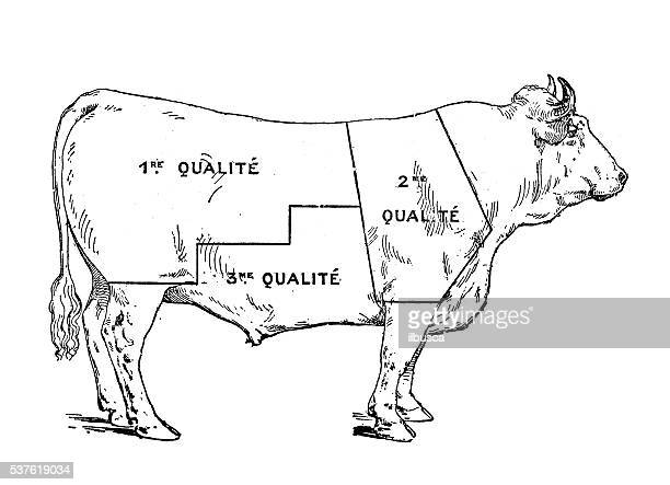 Butcher 27s Shop additionally Cow Butcher Diagram Cut Beef Set 480382762 moreover Drawing Of A Bullock Marked To Show Eighteen Different Cuts Of Meat English School likewise Glossary further Proper Field Care For Moose. on diagram of cuts meat from a cow
