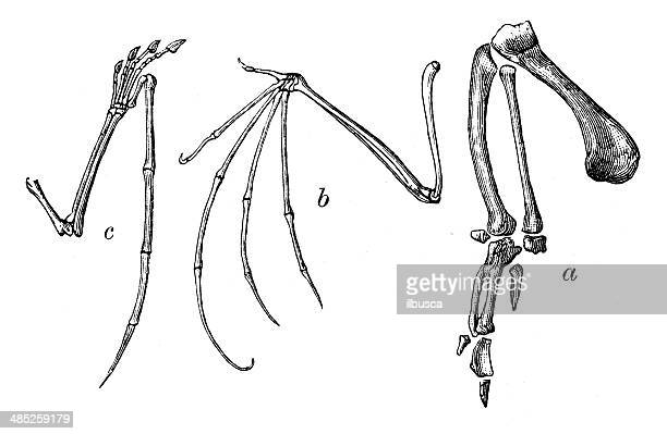 antikes illustration vogel flügel bones - gliedmaßen körperteile stock-grafiken, -clipart, -cartoons und -symbole