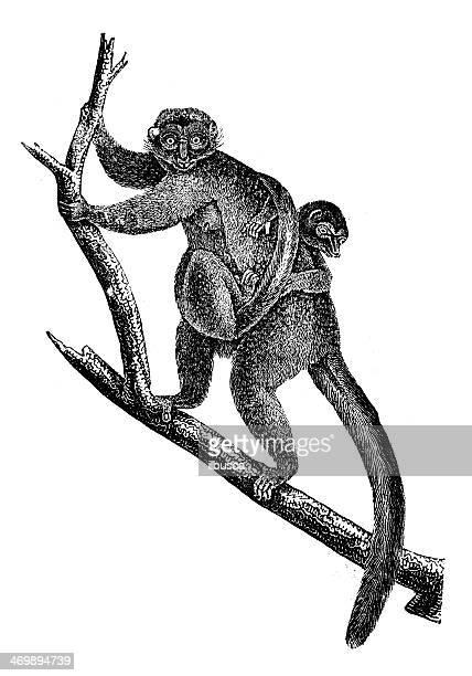 antique illustration of black lemur (eulemur macaco) - lemur stock illustrations, clip art, cartoons, & icons