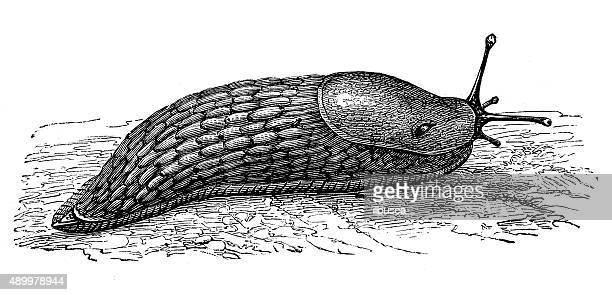 illustrations, cliparts, dessins animés et icônes de ancienne illustration de noir slug ou noir arion (arion ater - limace