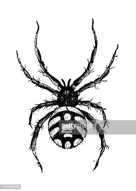 Antique illustration of black widow, or steppe spider (Latrodectus tredecimguttatus)