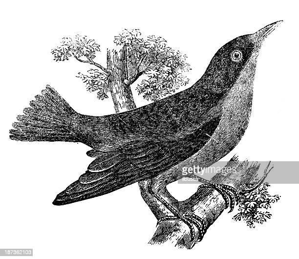 ilustrações de stock, clip art, desenhos animados e ícones de antiguidade ilustração de azul dacnis ou turquesa honeycreeper (dacnis cayana) - canto de passarinho