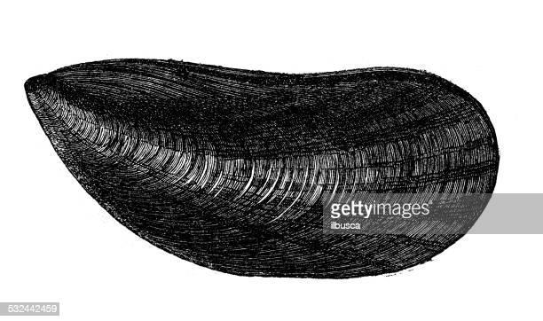 Ilustraciones de Stock y dibujos de Mejillones | Getty Images
