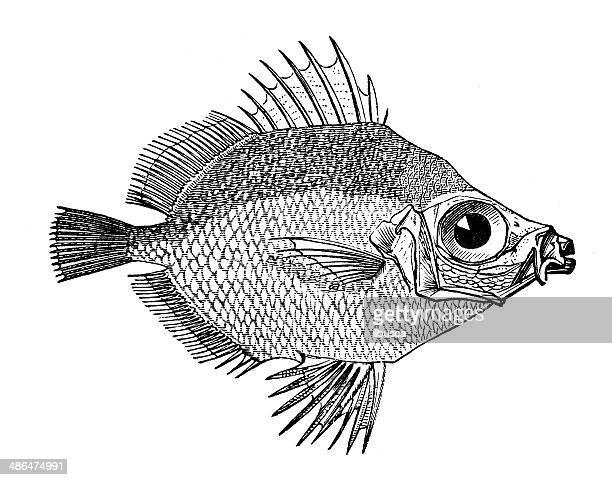 Anticuario ilustración de boarfish (Capros aper)