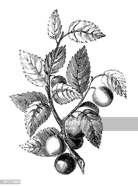 Antique illustration of bullace tree (plum)