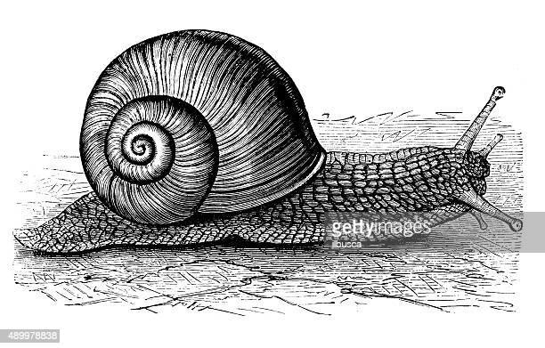 illustrations, cliparts, dessins animés et icônes de ancienne illustration de bordeaux escargot ou escargots (helix pomatia - escargot