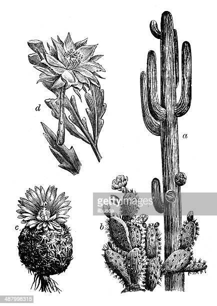 ilustrações, clipart, desenhos animados e ícones de antigo ilustração de cactus - cacto