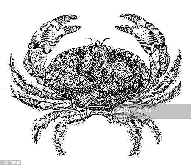 Antique illustration of Cancer pagurus (edible crab or brown crab)