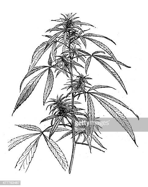 antique illustration of cannabis - cannabis narcotic stock illustrations, clip art, cartoons, & icons