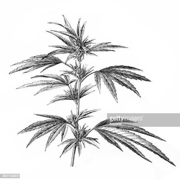 ilustraciones, imágenes clip art, dibujos animados e iconos de stock de anticuario ilustración de cannabis - marihuana