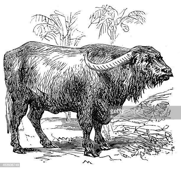 Antique illustration of Cape buffalo (Syncerus caffer)