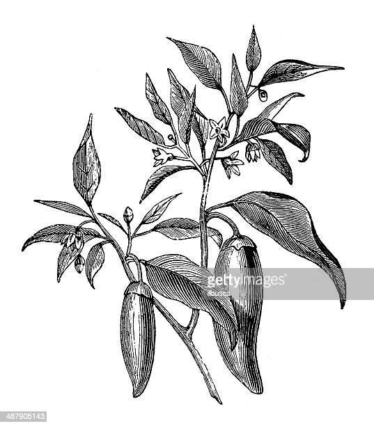 antique illustration of capsicum annuum pepper - bell pepper stock illustrations, clip art, cartoons, & icons