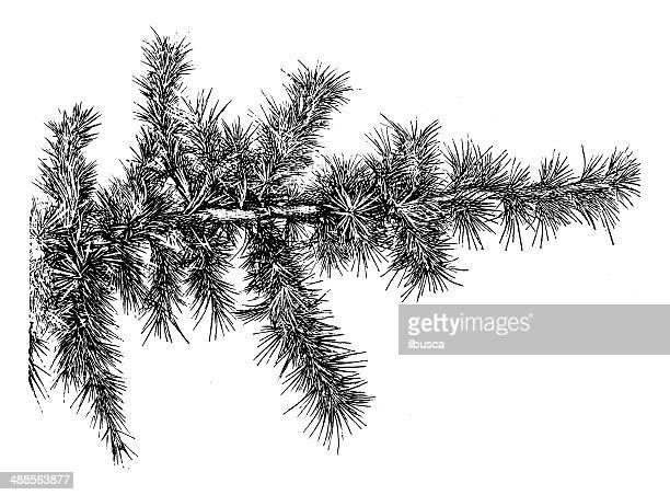 antique illustration of cedar of lebanon - cedar tree stock illustrations, clip art, cartoons, & icons