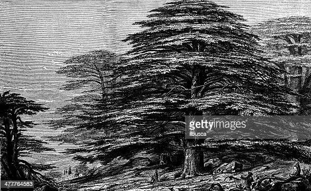 antique illustration of cedrus libani - cedar tree stock illustrations, clip art, cartoons, & icons